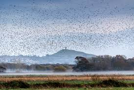 See the Starlings at Ham Wall